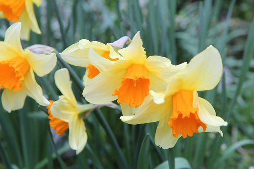 Narcissus, Daffodil, Narcissus Bi-colors, Bulbs, Spring