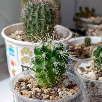 Cactus, Ehinokaktus Of Gruson, Echinocactus Grusonii