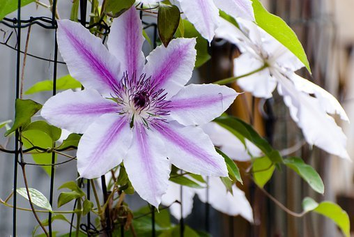 Flora, Clematis' Nelly Moser, Flower
