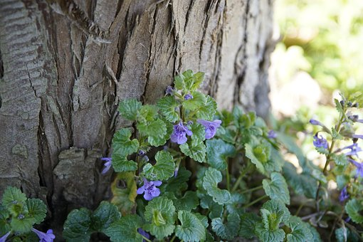 Glechoma, Ground-ivy, Blue, Flower, Forest, Spring