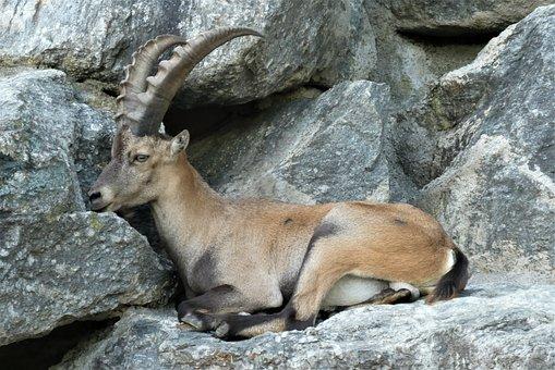 Capricorn, Zoo, Alpenzoo, Innsbruck, Austria, Horns