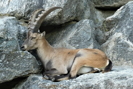 Capricorn, Zoo, Alpenzoo, Innsbruck
