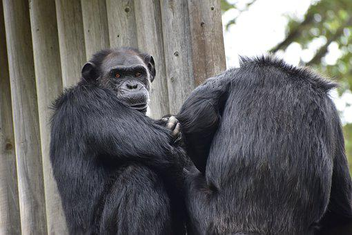 Chimpanzee, Zoo, Animal, Sitting, Face