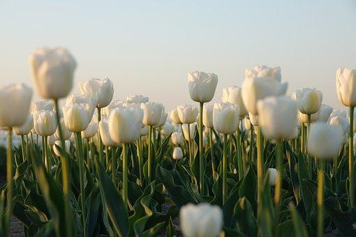 Tulips, Tulip Field, White, Netherlands, Bulb, Nature
