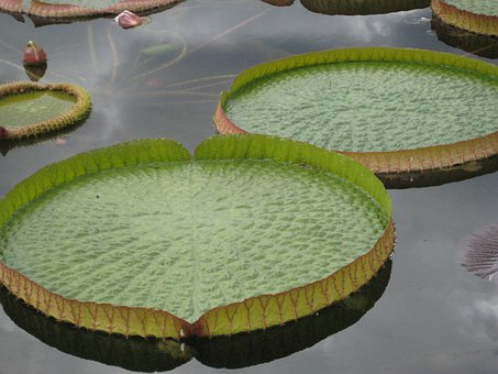 Seerosen Plate, Pond, Huge Seerosenblätter, Circular