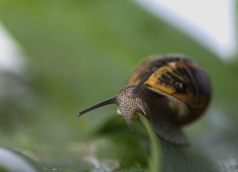 Snail, Molluscum, Animals, Shell, Snails, Tracking