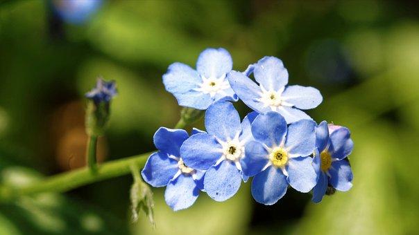 Popcorn, Small, Blue, Almost, Garden, Nature, Spring