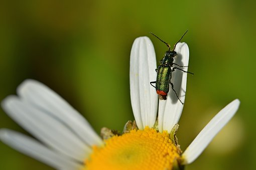 Beetle, Tip Beetle, Blossom, Bloom, Spring, Small