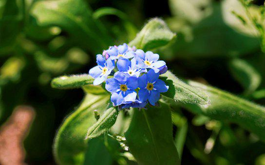 Popcorn, Small, Blue, Leaves, Green, Garden, Nature