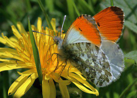 Orange-tip Butterfly, Insect, Springtime, Butterfly