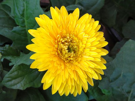 Yellow Dahlia, Chamanti, Yellow Chamanti, Flower