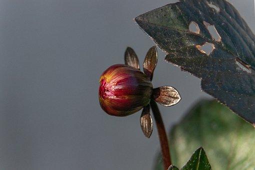 Dahlia, Flower, Nature, Bud