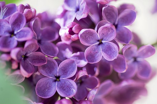 Lilac, Purple, Flowers, Bloom, Flowering, Fragrant