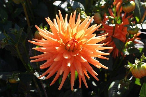 Dahlia, Flower, Bloom, Garden, Orange