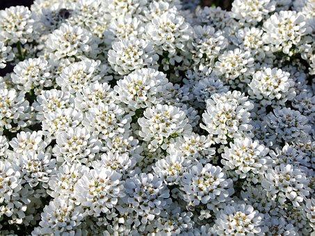 Tip Ternye, Mézvirág, Lobularis, White, Fragrant