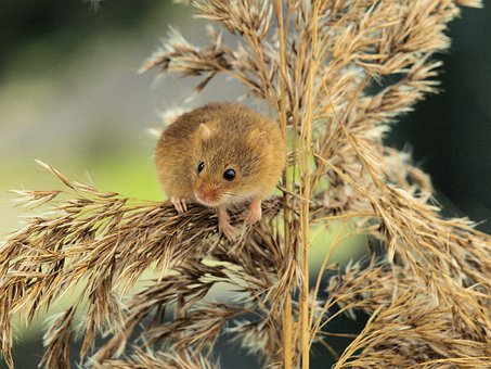 Field Mouse, Small, Brown, Cute, Rodent