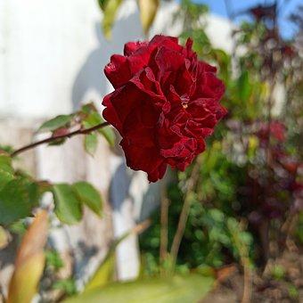 Rose, Garden, Bloom, Flower, Desi Rose