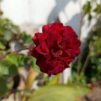 Rose, Spring, Floral, Plant, Desi Indian Rose