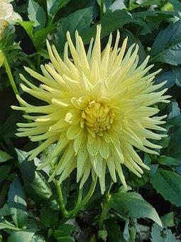 Dahlia, Yellow, Yellow Dahlia, Blossom