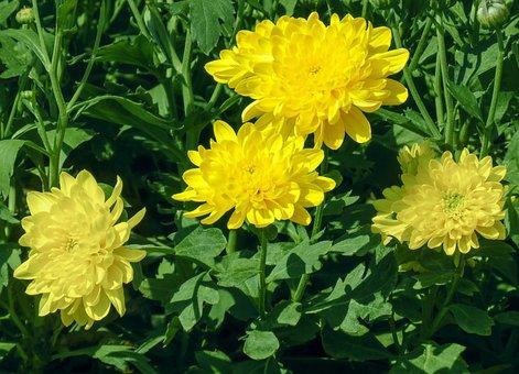 Chrysanthemum, Cute Yellow, Nature Cute, Chamanti