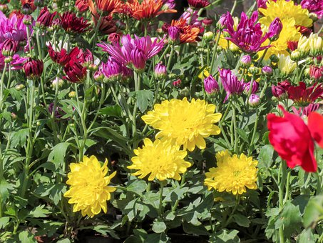 Chrysanthemum, Flowers, Flowers Garden, Garden, Spring