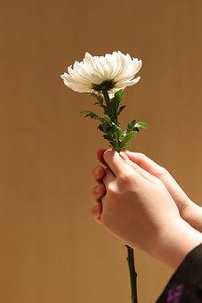 Chrysanthemum, White Chrysanthemum