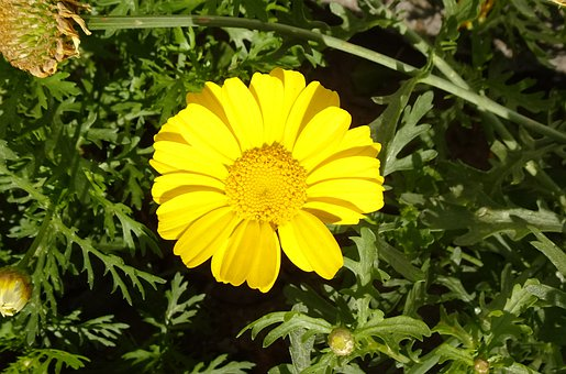 Flower, Crown Daisy, Yellow