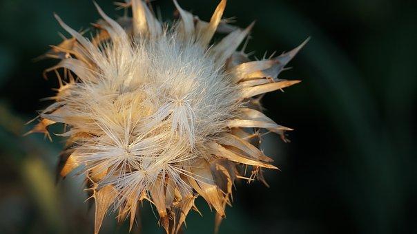 Agrimony, Dry, Grass, Evening, Sunset, Twilight, Meadow