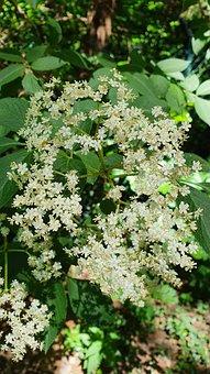 Elder Flower, Blossom, Bloom, Spring, Hollunder, Flower