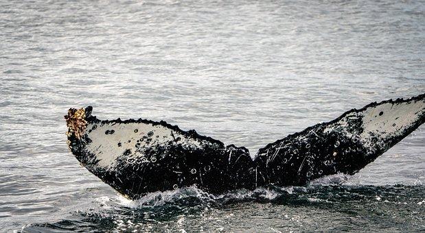 Whale, Ocean, Closeup, Mammal, Marine, Breaching, Fin