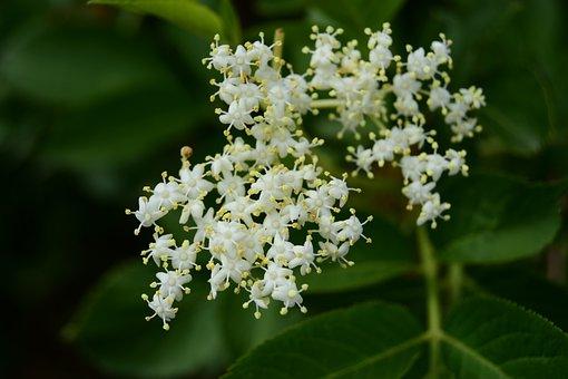 Real Elderberry, Elder, Spring, May, Syrup, Vitamins