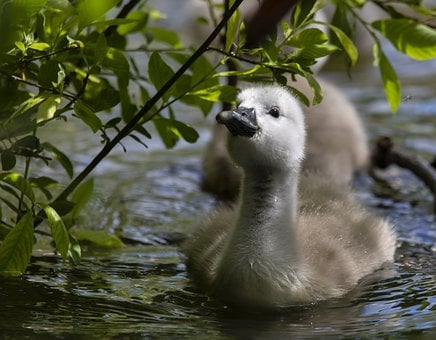 Cygnet, Swan, Young Swan, Baby Swan, Water, Bird