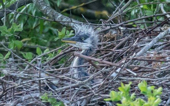 Baby Grey Heron, Baby Heron, Heron Chick