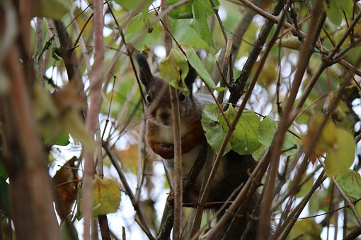 Squirrel, Bush, Animal, Take A Peek, Branch, Garden
