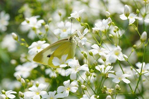 Gypsophila, Gypsophila Elegans, Butterfly, Flower
