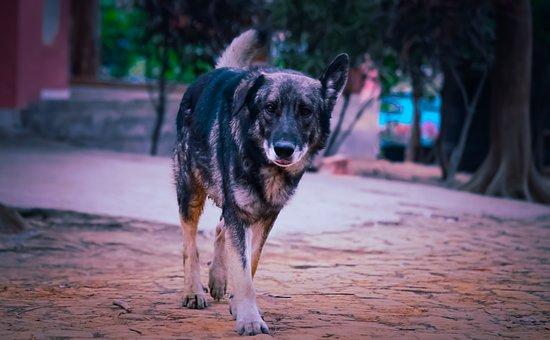 German Shepherd, Dog, Animal, Domestic