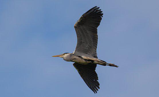 Heron Flying, Heron, Grey Heron, Flight