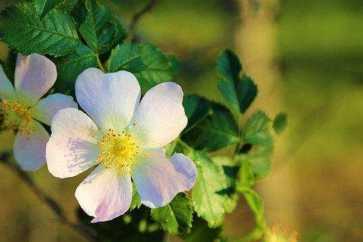 Flower, Spring, Rosehip, Nature, Plant, Pink, Color