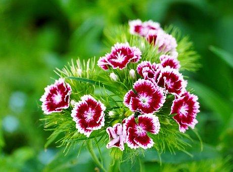 Sweet William, Flower, Blossom, Bloom, Nature, Flora