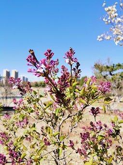 Clove, Lilac, Flower, Spring