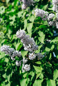 Lilac, Blossom, Bloom, Flower, Green, White, Floral