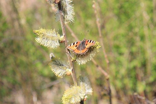 Tortoise Shell Butterfly, Butterfly