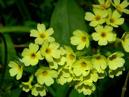 Veris, Flower, Yellow, Bloom, Beautiful, Rarely, Nature