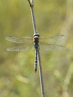 Dragonfly, Branch, Blue Dragonfly, Wetland