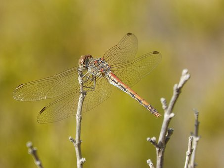 Dragonfly, Sympetrum Striolatum, Winged Insect, Branch