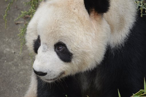 Panda, Animal, Bear, Wildlife, Chinese, Jungle, Bamboo
