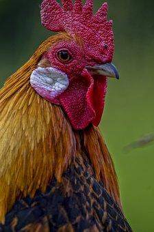 Hahn, Animal, Animal Portrait, Bird, Close, Plumage