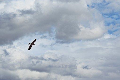 Bird, Clouds, Fly, Sky, Seagull, Water Bird, Flight