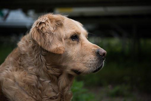 Dog, Golden Retriever, Pet, Big Dog