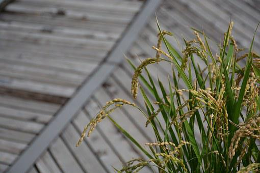 Rice, Ear Of Rice, Green, Golden, Autumn, Japan, Plant